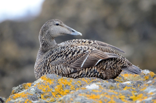 NB eider female