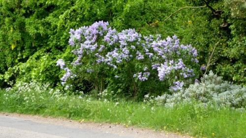NB lilacs