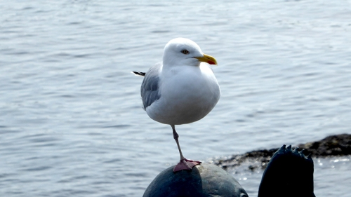 one legged gull NB