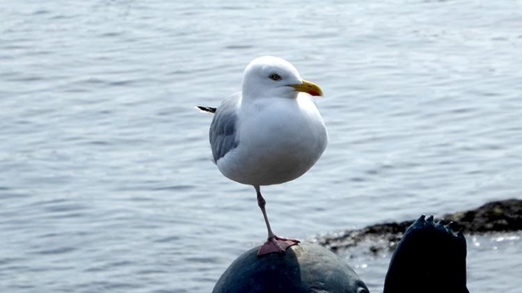 one legged gull NB
