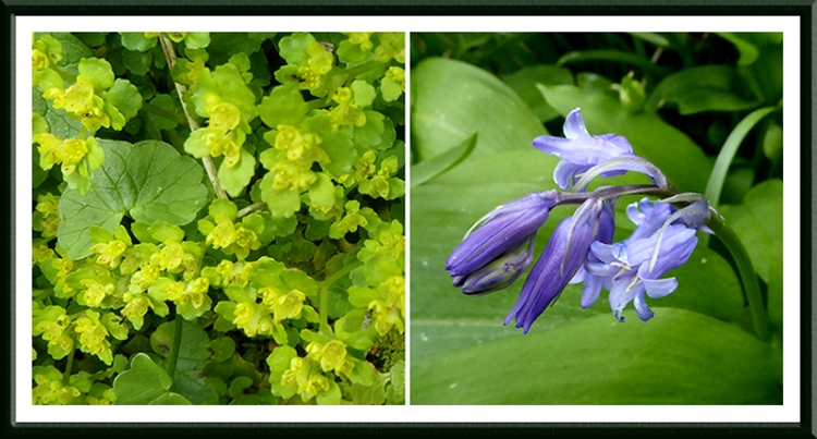 golden saxifrage and bluebell