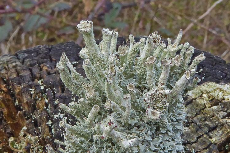 lichen at auld stane brig