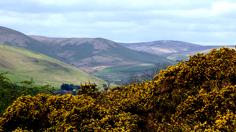 Ewes valley with gorse