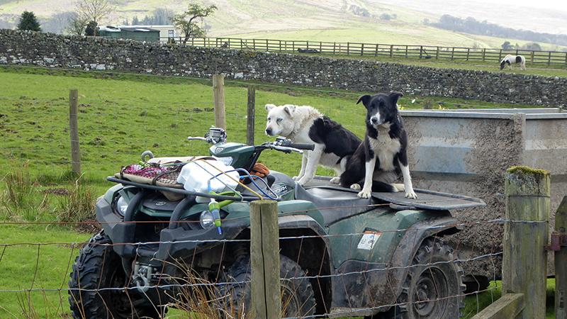 dogs on quad