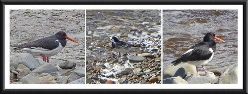 oyster catchers and wagtail