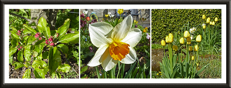 apple blossom, daff and tulips