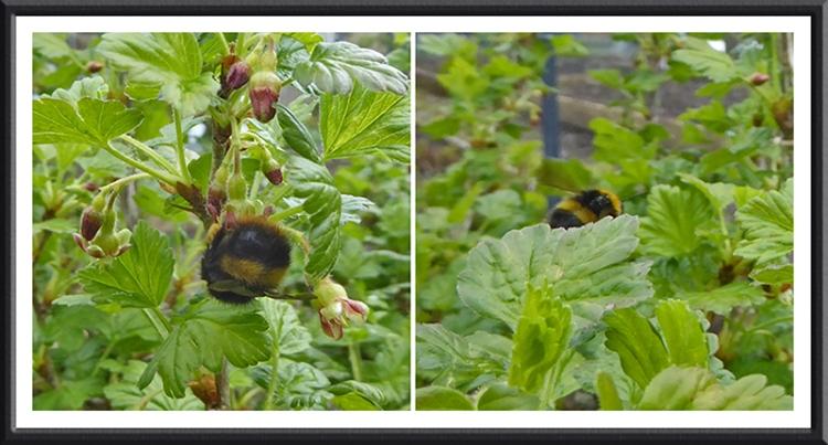 bee on gooseberry
