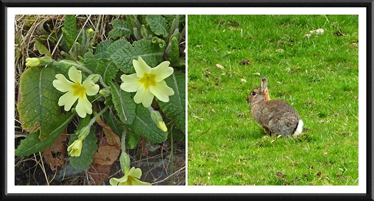 primrose and rabbit