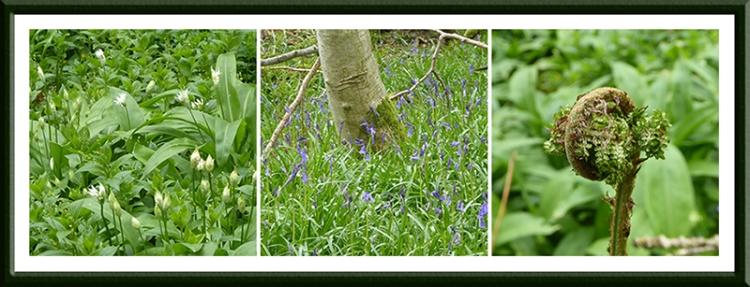 garlic, bluebell and fern