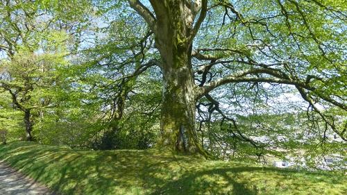 stubholm tree