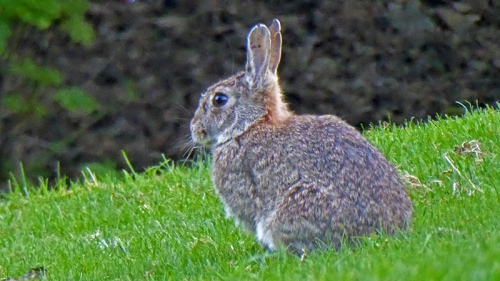 edinburgh rabbit