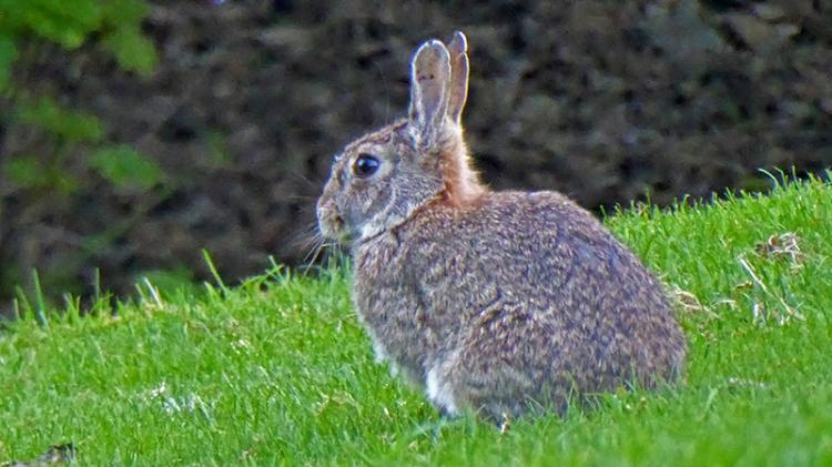 edinburgh rabbit