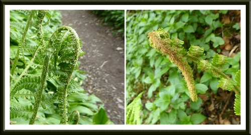 fern unfolding