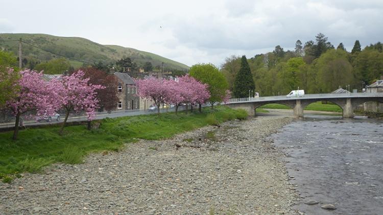cherry blossom river esk