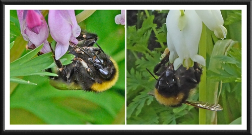 bees on dicentra