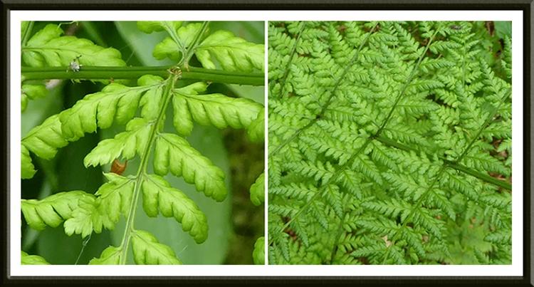 easton ferns