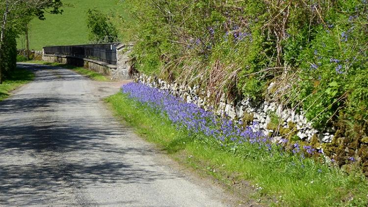 bluebells at bentpath