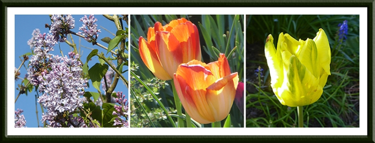 lilac and tulips