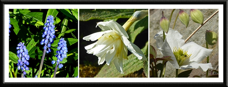 hyacinth, daffodil and clematis