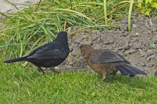 blackbird and baby