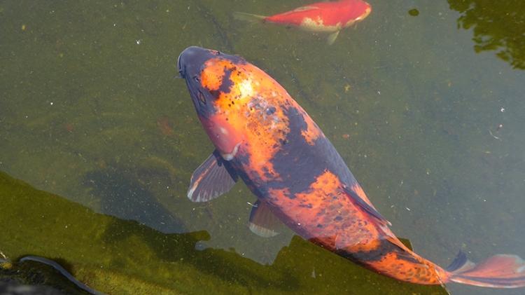 Teviot fish
