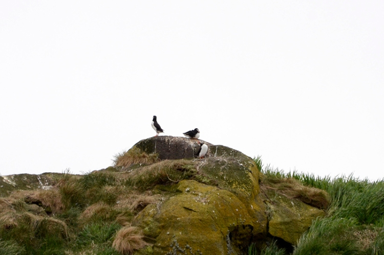 puffins on hill