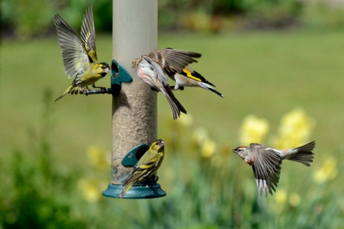 siskins and redpolls