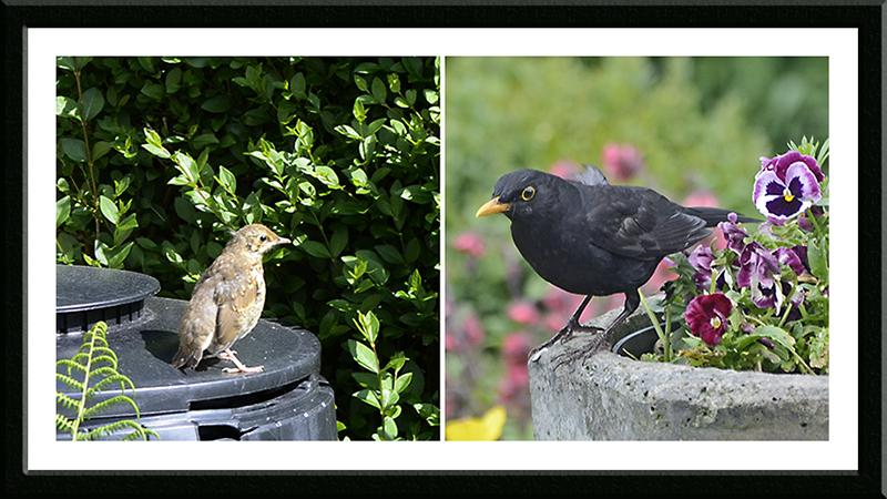 thrush and balckbird