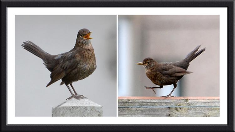 agitated blackbird