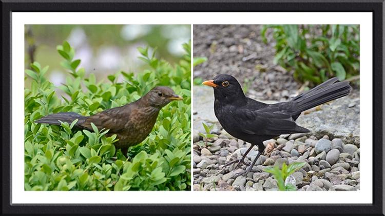 agitated blackbirds