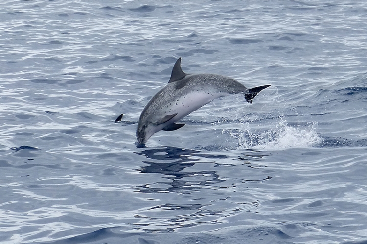 Atlantoc spotted dolphin