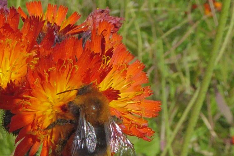 bee on orange hawkweed