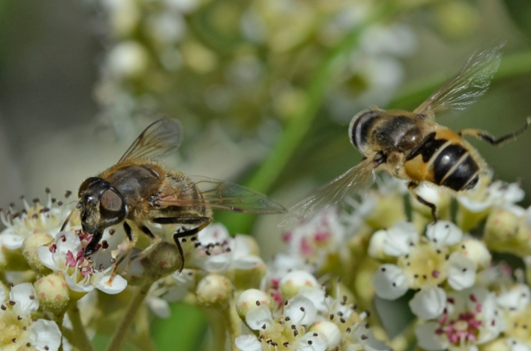 bees on cotoneaster