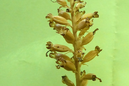 bird's nest orchid