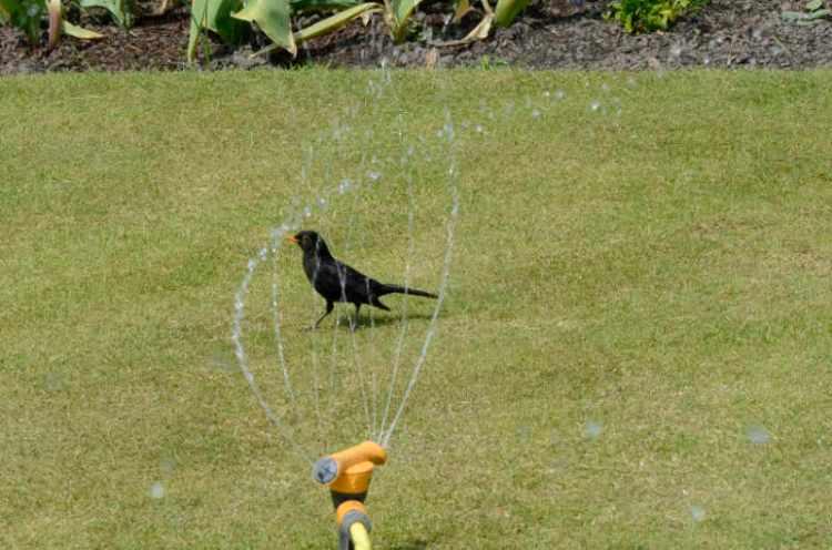 blackbird having shower
