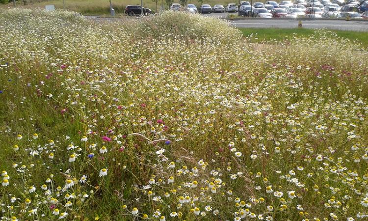 DGRI meadow