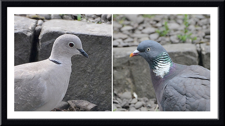 dove and pigeon