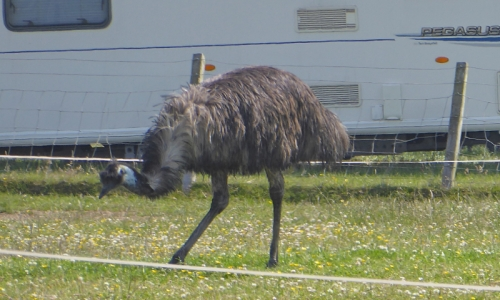emu type bird