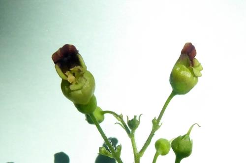 figwort