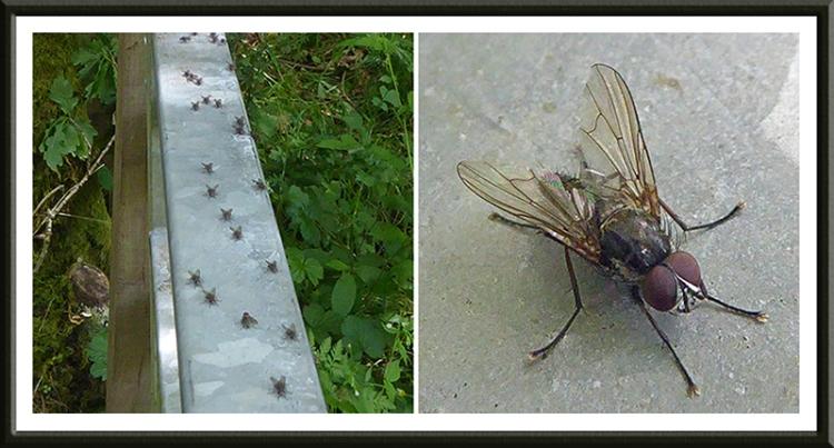 flies on gaskells gate
