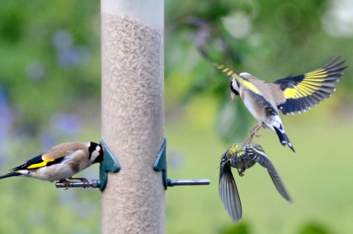 flying goldfinch and siskin