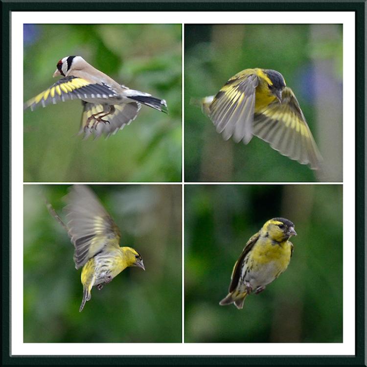 flying siskins