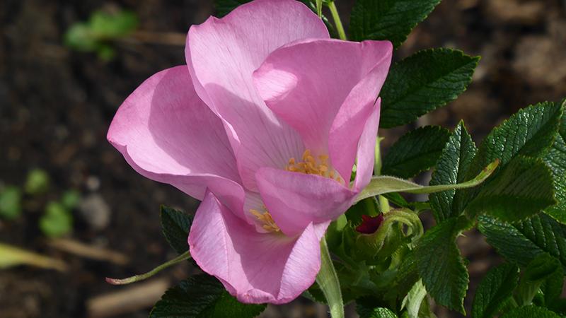 Fru Dagmar Hustrup rose