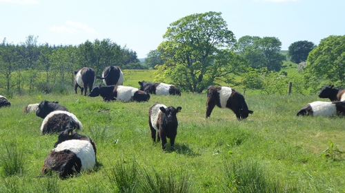 galloway cows