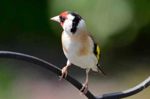 goldfinch (2)