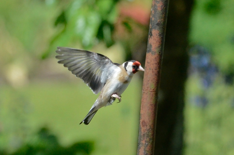 goldfinch and pole