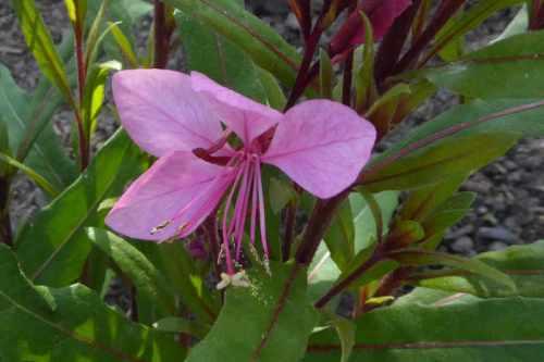 goura pink