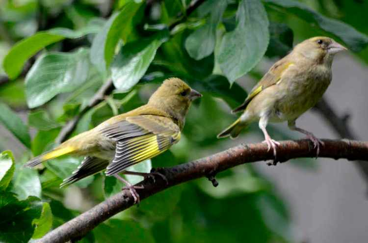 greenfinch and young