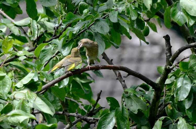greenfinch feeding young