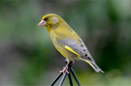 greenfinch posing